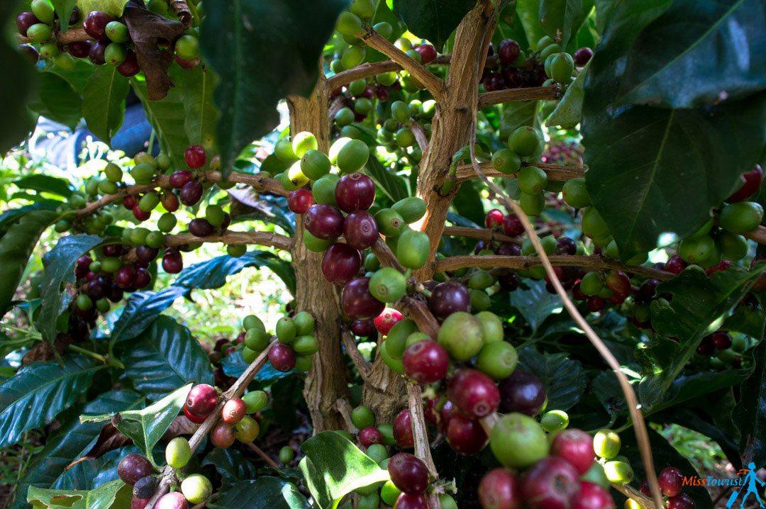 Coffee plantation Jardin