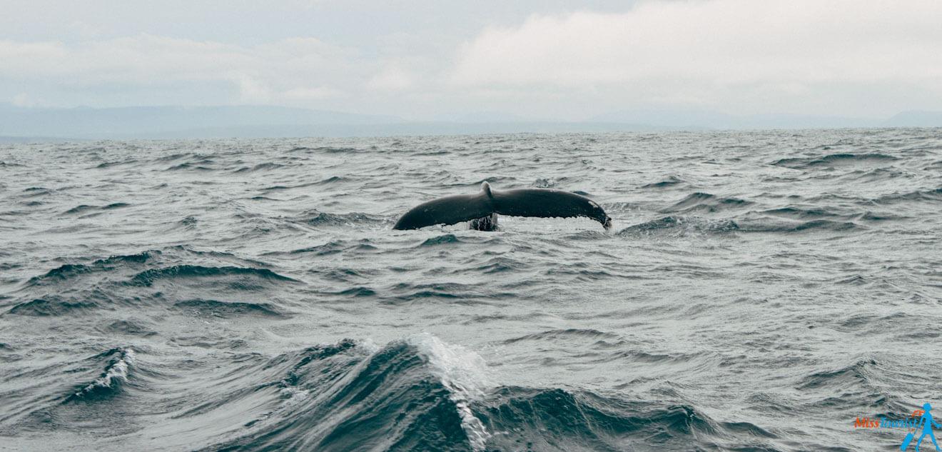 9 Husavik whale watching Gentle giants