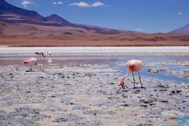 Pink flamingos Bolivia