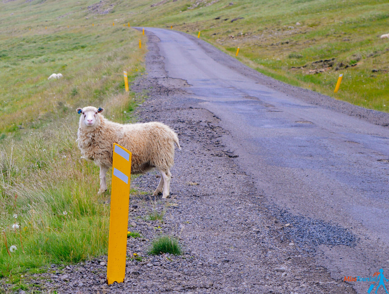 3 Sheep crosing Iceland road2