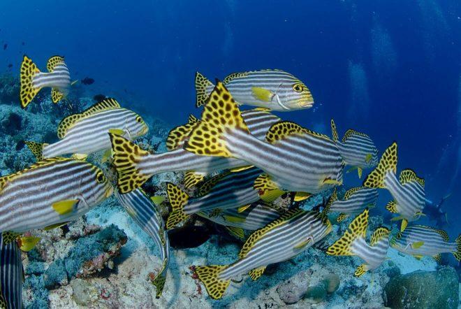 3 Amazing Resorts in the Maldives Bandos Fish 2