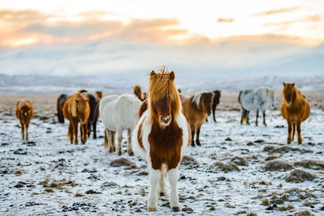 10 Best Tours You Have To Take in Iceland cute icelandic horse