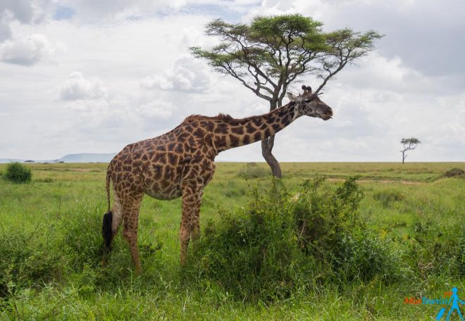 How To Plan A Perfect Safari In Tanzania – 7 Things You Need To Know giraffe
