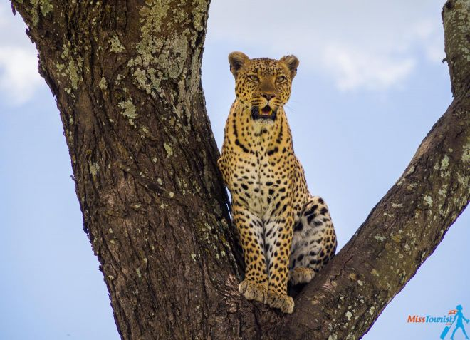 How To Plan A Perfect Safari In Tanzania – 7 Things You Need To Know leopard