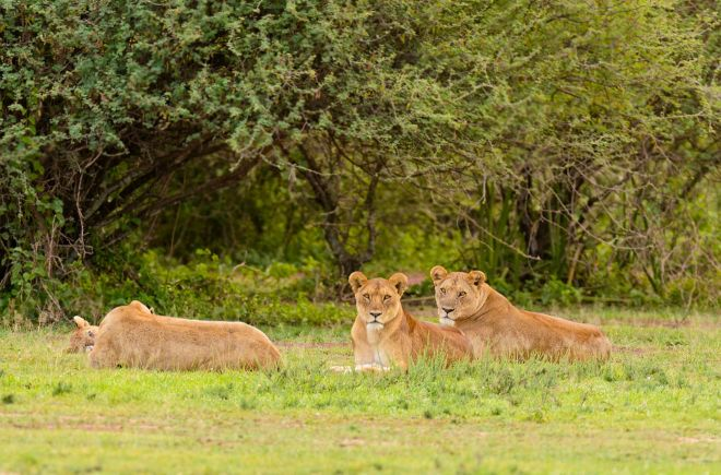 How To Plan A Perfect Safari In Tanzania – 7 Things You Need To Know lions 2