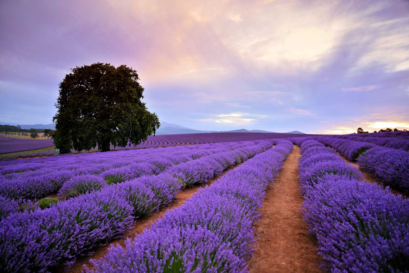Bridestowe Lavender Estate tasmania Garden Walk tour