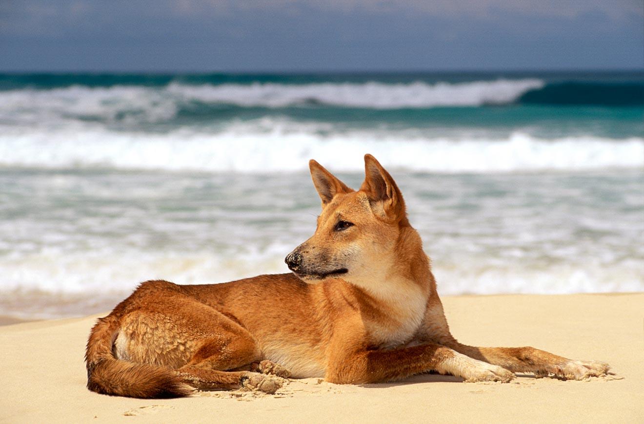 dingo in fraser island