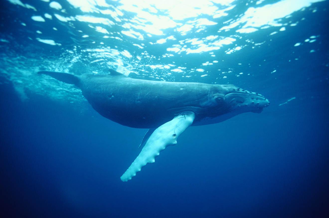 Humpback Whale, Coffs Harbour Spotting Boat Tour