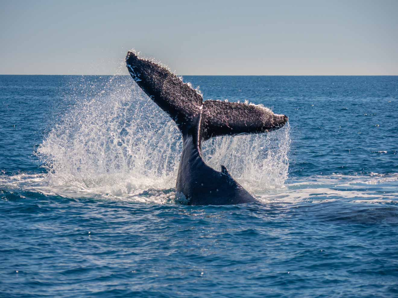 whale tail in hervey bay