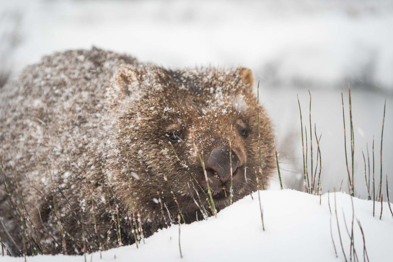 Wombat in snow tasmania attraction