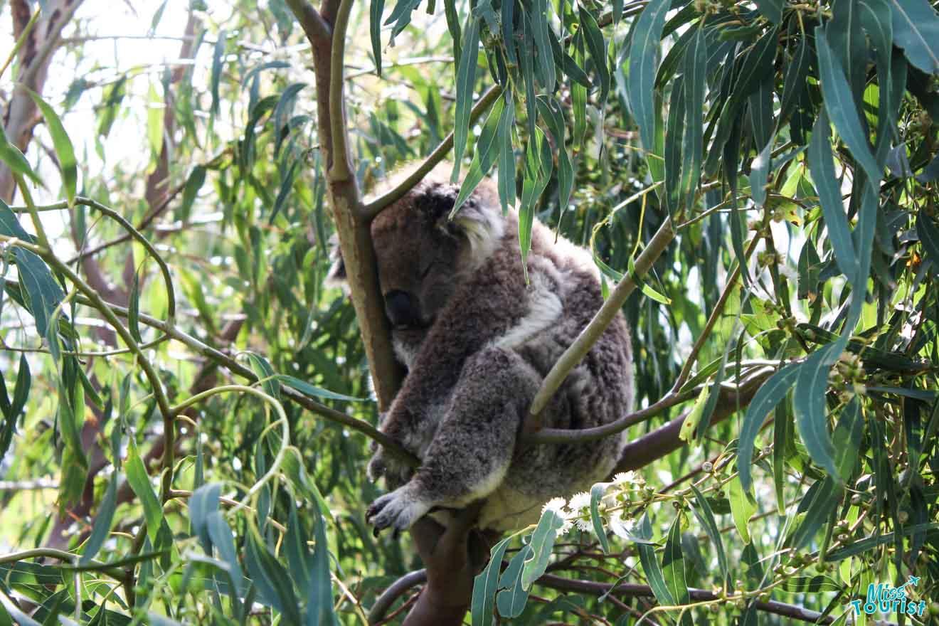 Amazing stops - koala Great ocean road itinerary