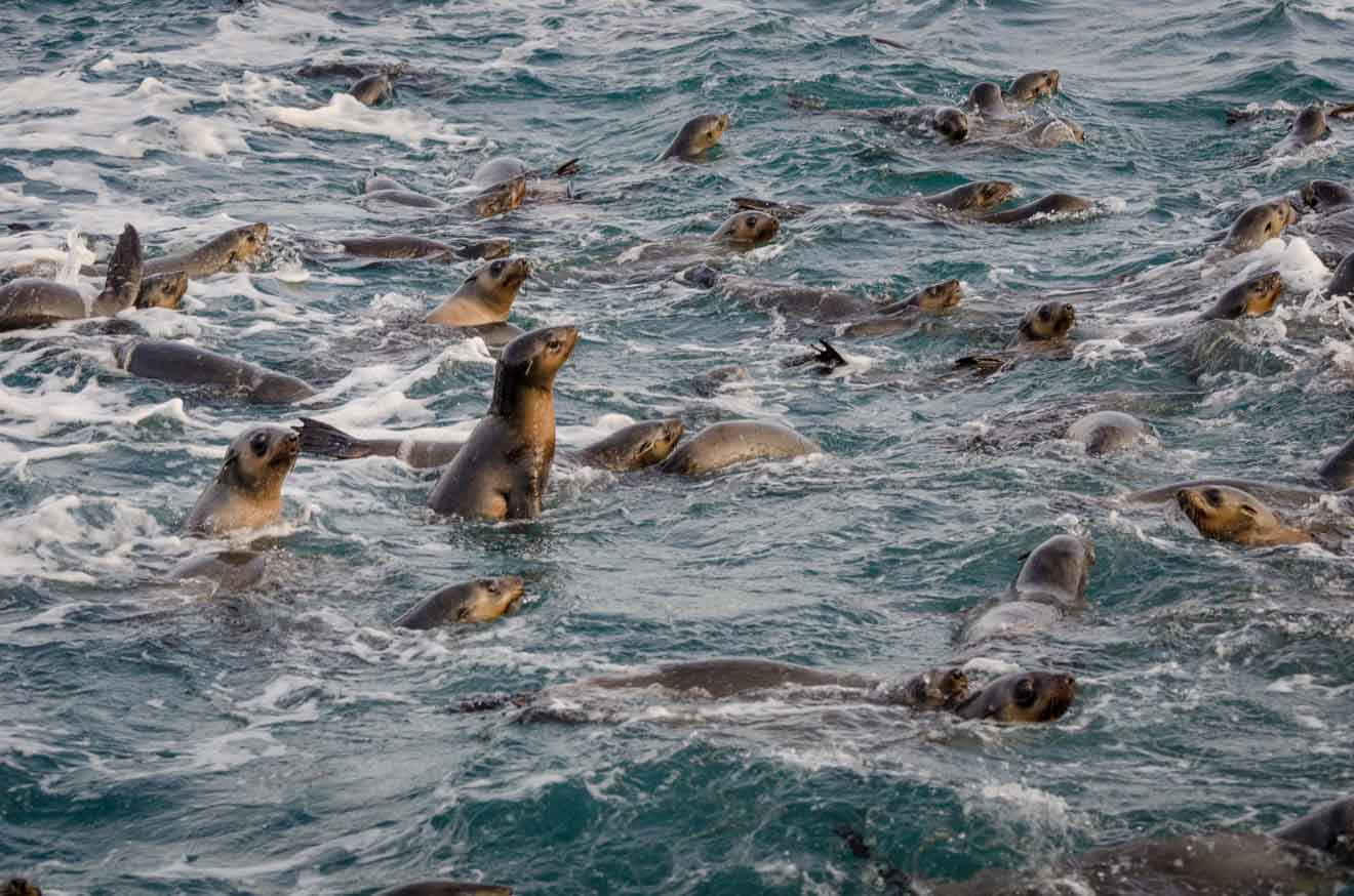 Fur Seal Things to do in Phillip Island in Melbourne Australia