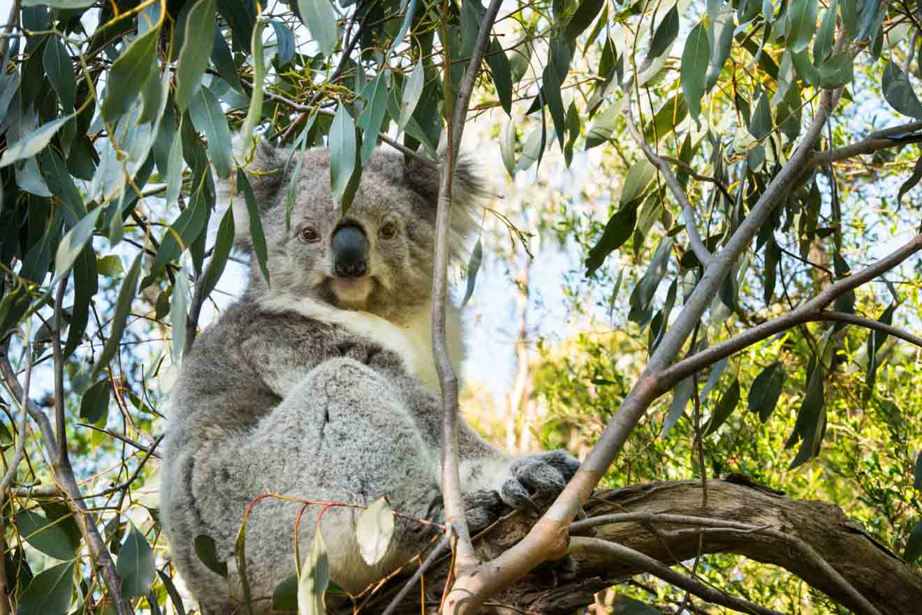 Top Tips for Planning the Perfect Day Trip to Phillip Island - Koala Things to do in Phillip Island