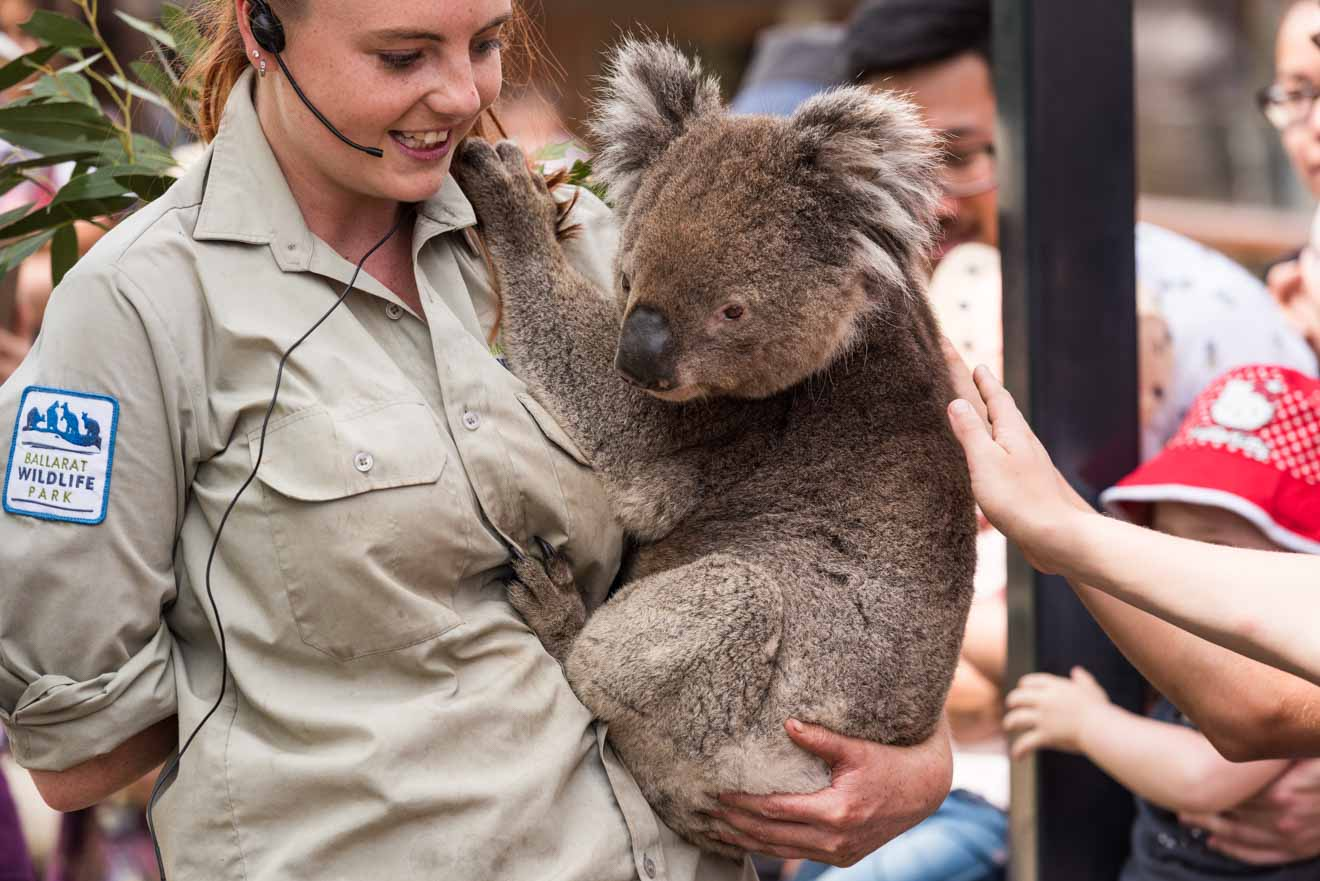 Koala at Ballarat Wildlife Park things to do in ballarat upcoming events
