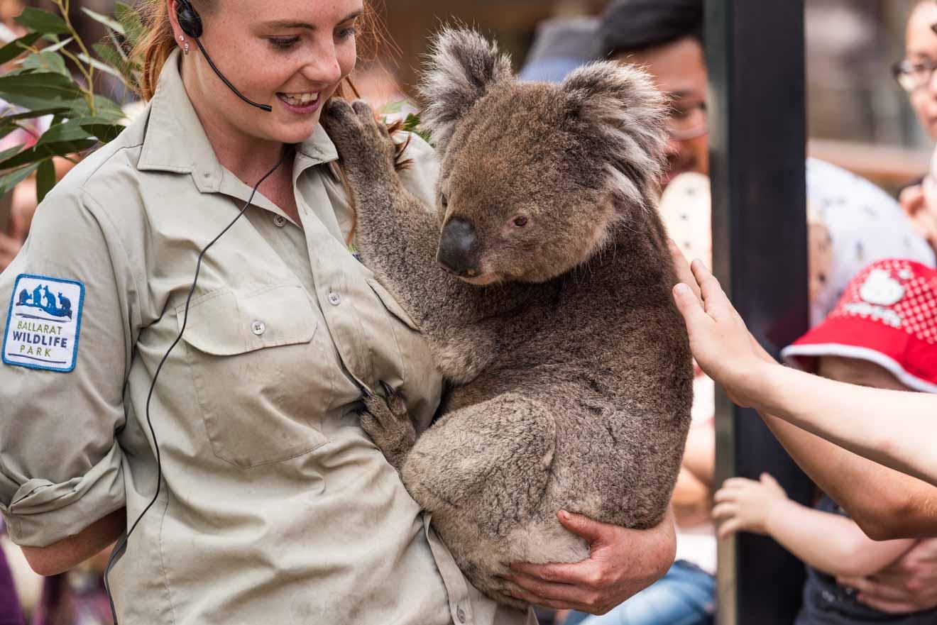 Koala at Ballarat Wildlife Park things to do in ballarat upcoming events