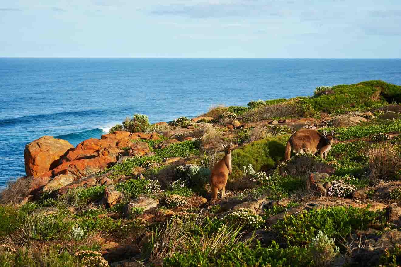 Wildlife Kangaroo things to see Margaret River Western Australia Road trip