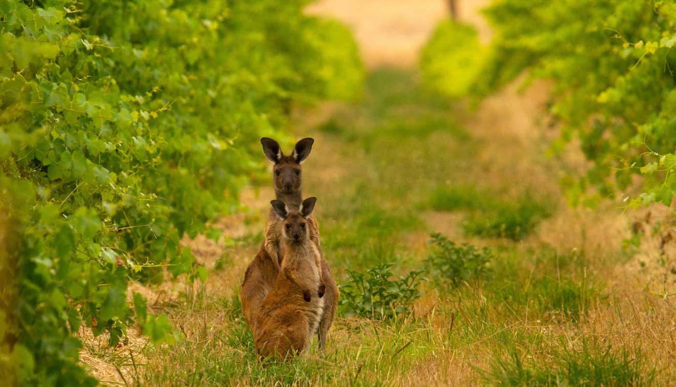 best of the barossa valley - Mount Edelstone Vineyard Things to do in Barossa Valley Wineries