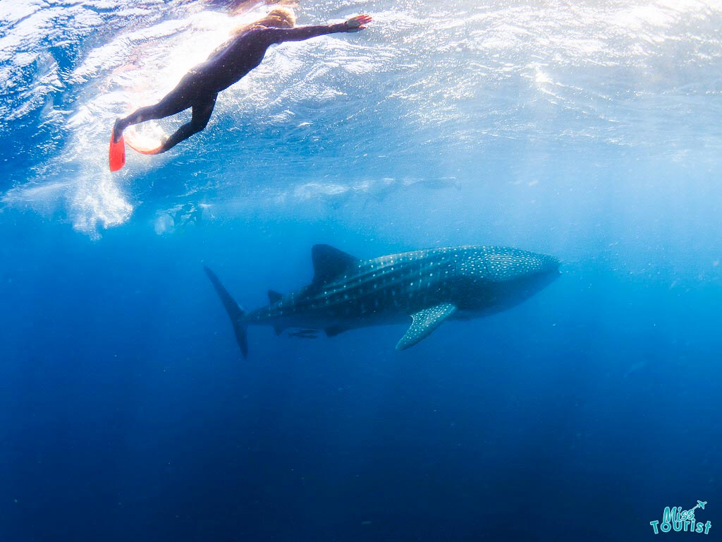things to do Ningaloo Reef Western Australia Road trip swim with whales