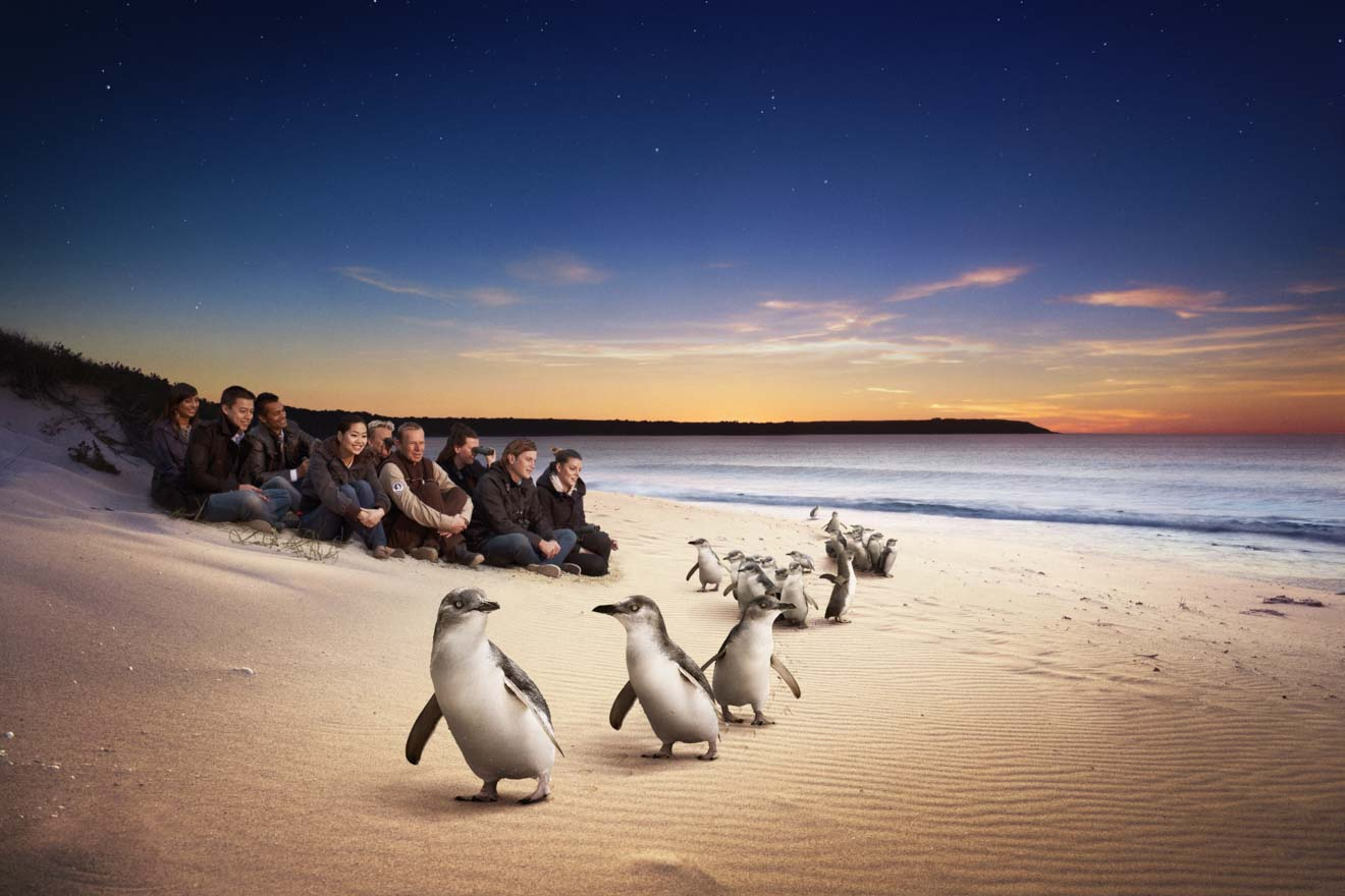 phillip island penguin parade tickets - Penguins Things to do in Phillip Island