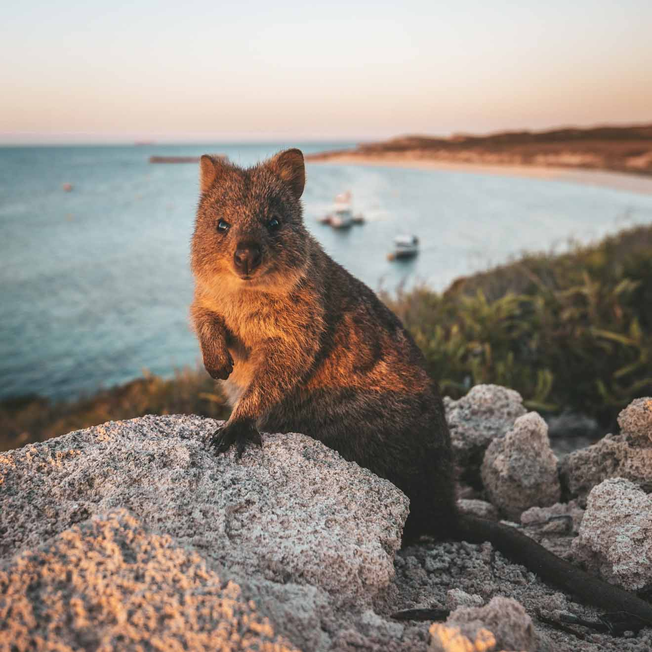 what to do in perth tomorrow - Quokka on Rottnest Island