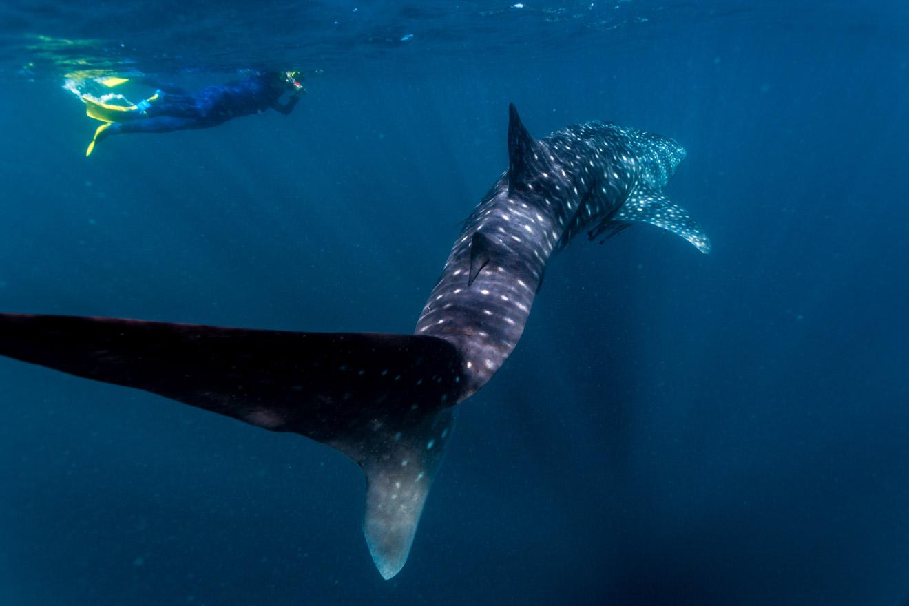 Swimming with Whale sharks Ningaloo Australia