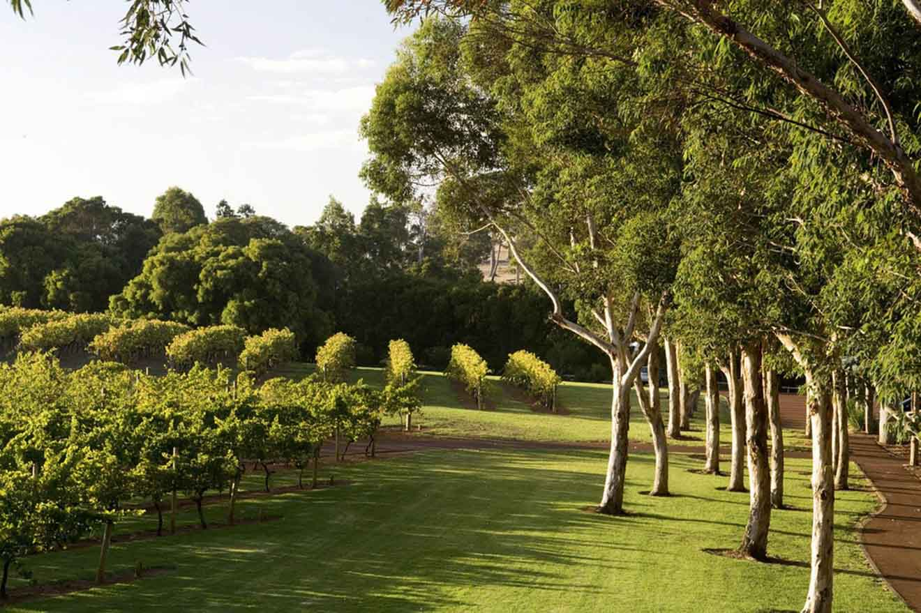Vasse Felix vineyards things to do in margaret river tree climb