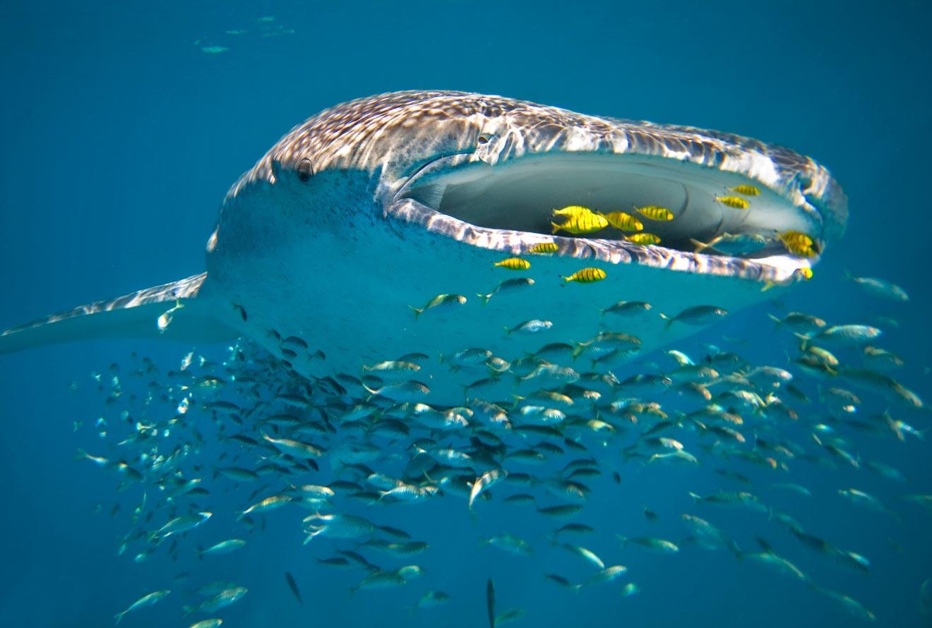 best Whale Shark tour Western Australia Ningaloo