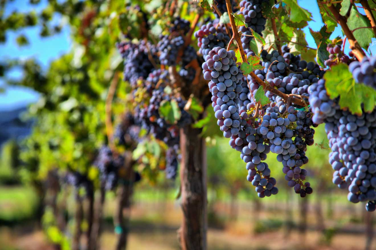 swan valley wine tour itinerary - Merlot Grapes in Vineyard