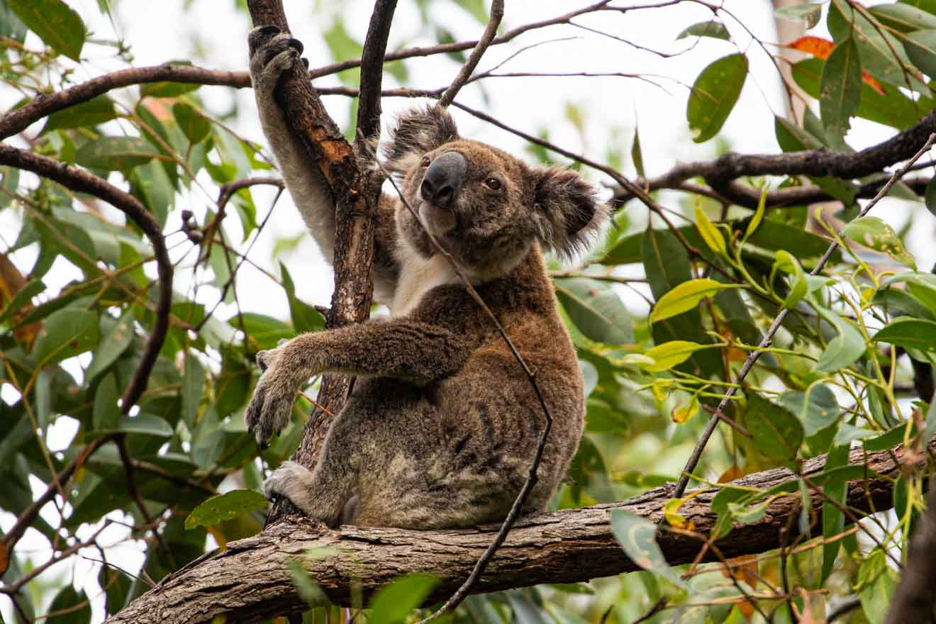 koala Things to do in brisbane and Gold Coast