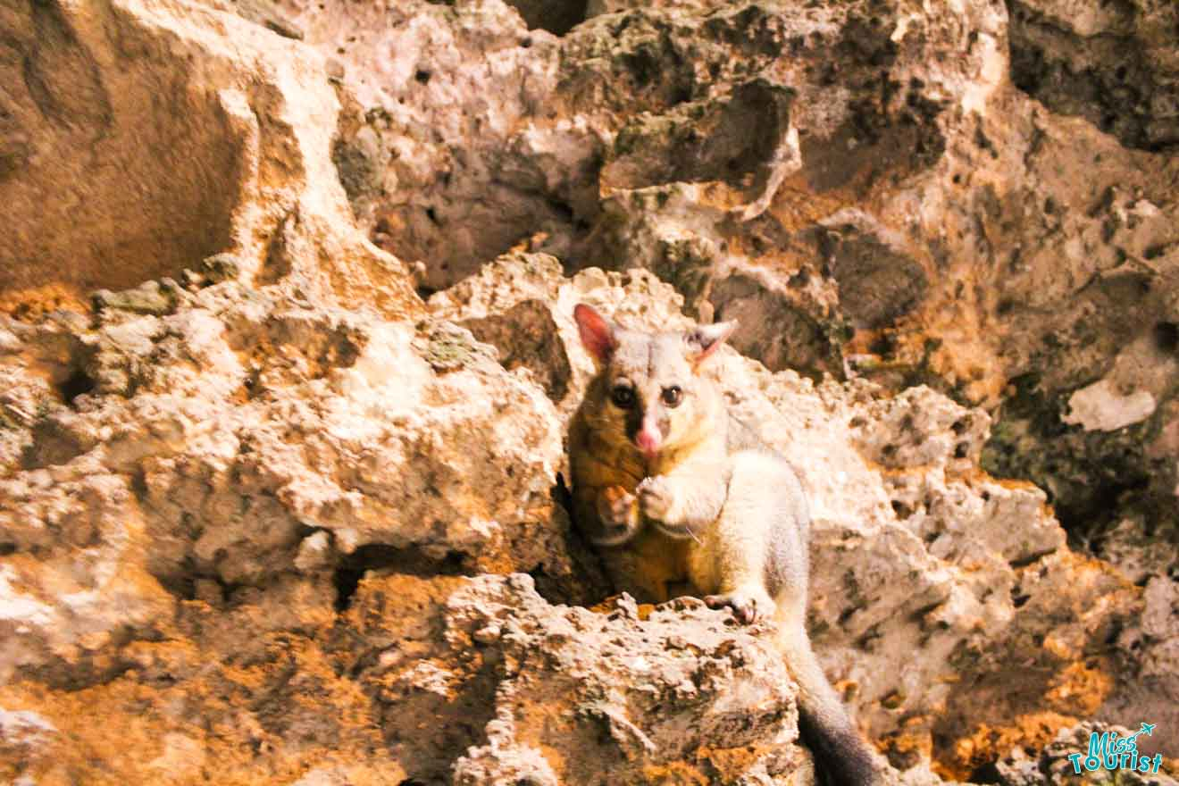 50 things to do in mount gambier - possum Things to do in Mount Gambier