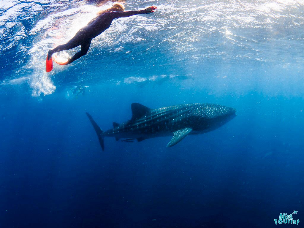 best time to swim with Whale sharks Ningaloo
