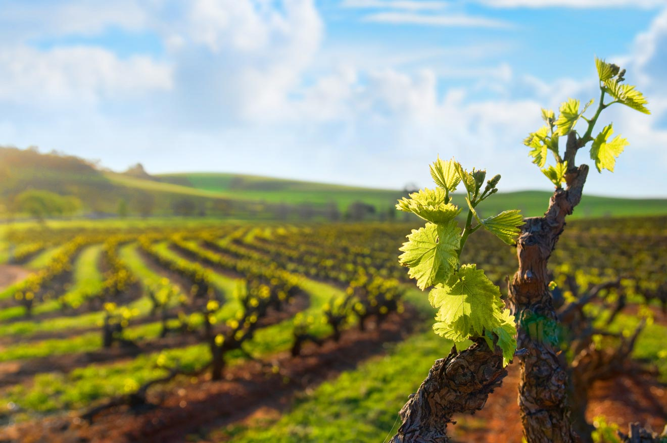 barossa valley tours - vineyard Things to do in Barossa Valley Wineries