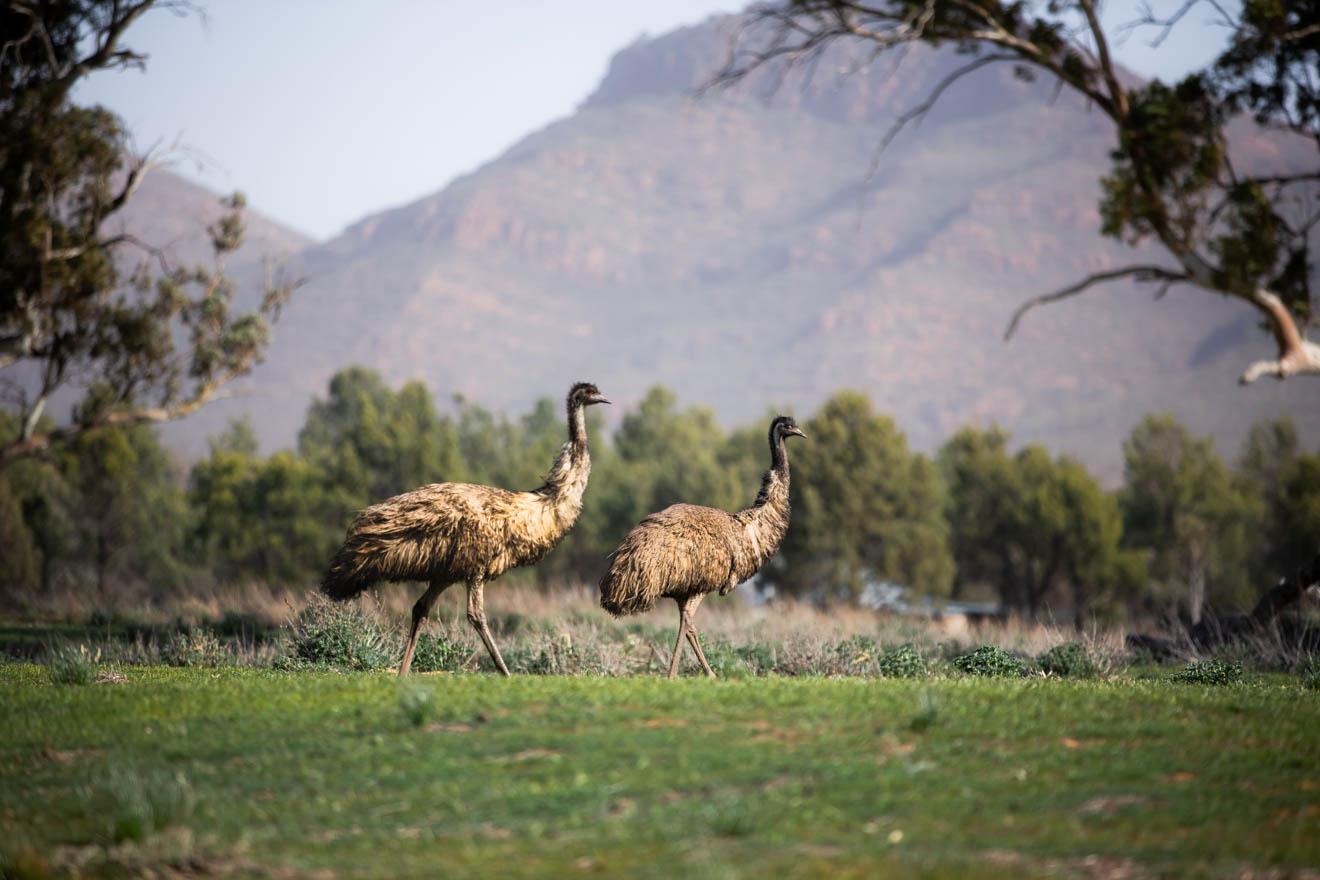 wildlife things to do Wilpena Pound Resort, SA